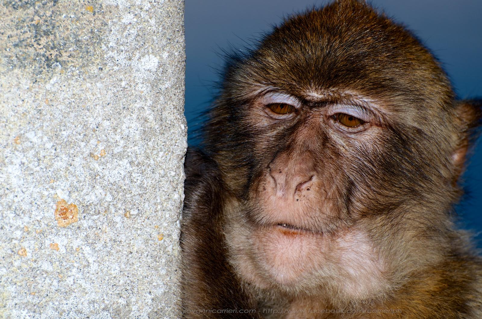 Ritratto di un macaco di Gibilterra