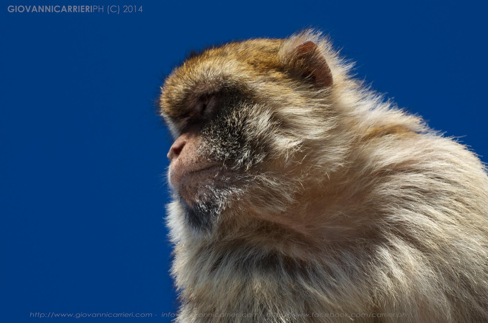 Il macaco di Gibilterra