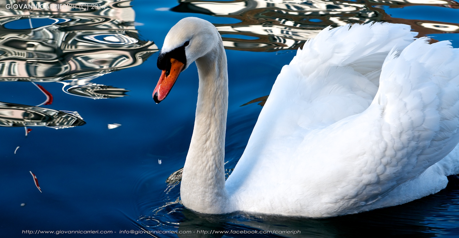 Swan in the Reuss river - Lucerne