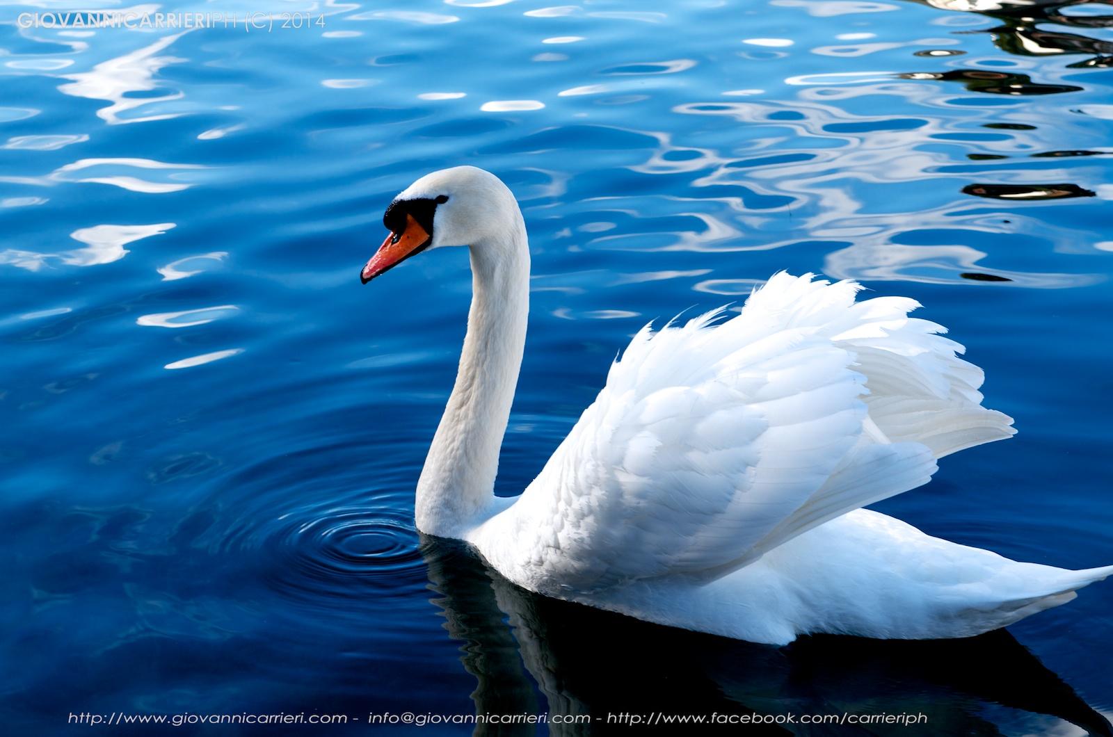 Un cigno nel lago di Lucerna